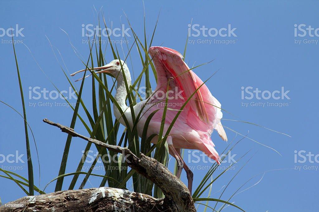Roseate Spoonbill stock photo