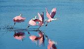 Four beautiful pink birds in Florida taking off.