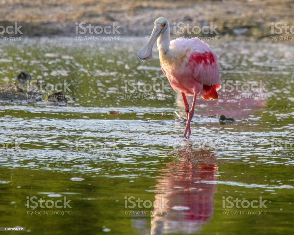 Roseate Spoonbill sees its reflection in the water stock photo