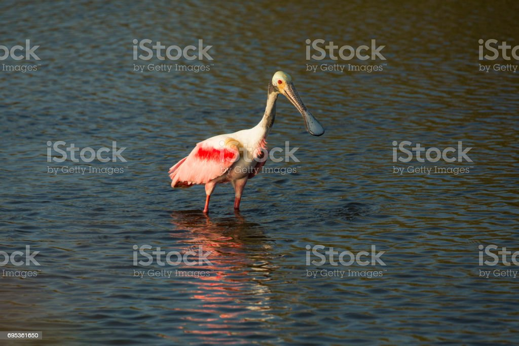 Roseate spoonbill wading in the water at Merritt Island, Florida. stock photo
