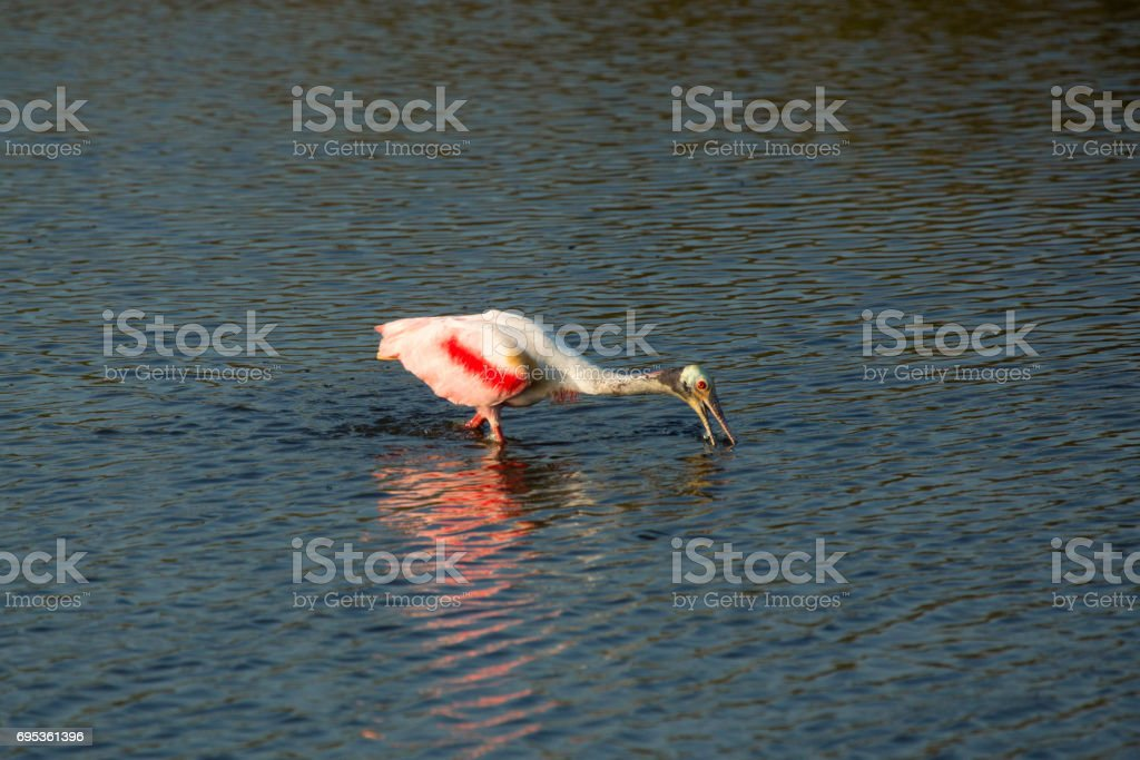 Roseate Spoonbill Wading With Its Bill In The Water Florida