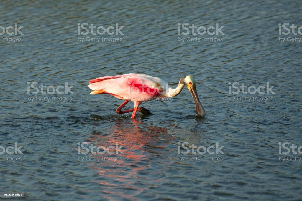Roseate spoonbill wading with its bill in the water, Florida. stock photo