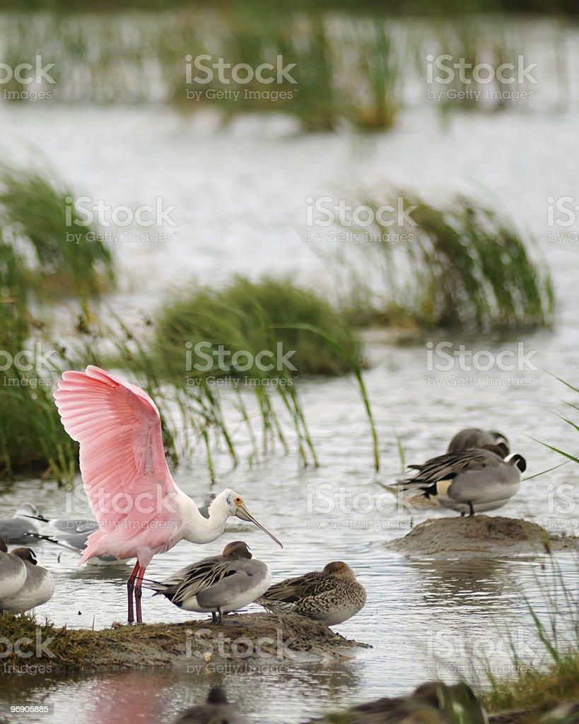 Roseate Spoonbill Wing Waggle Platalea ajaja stock photo