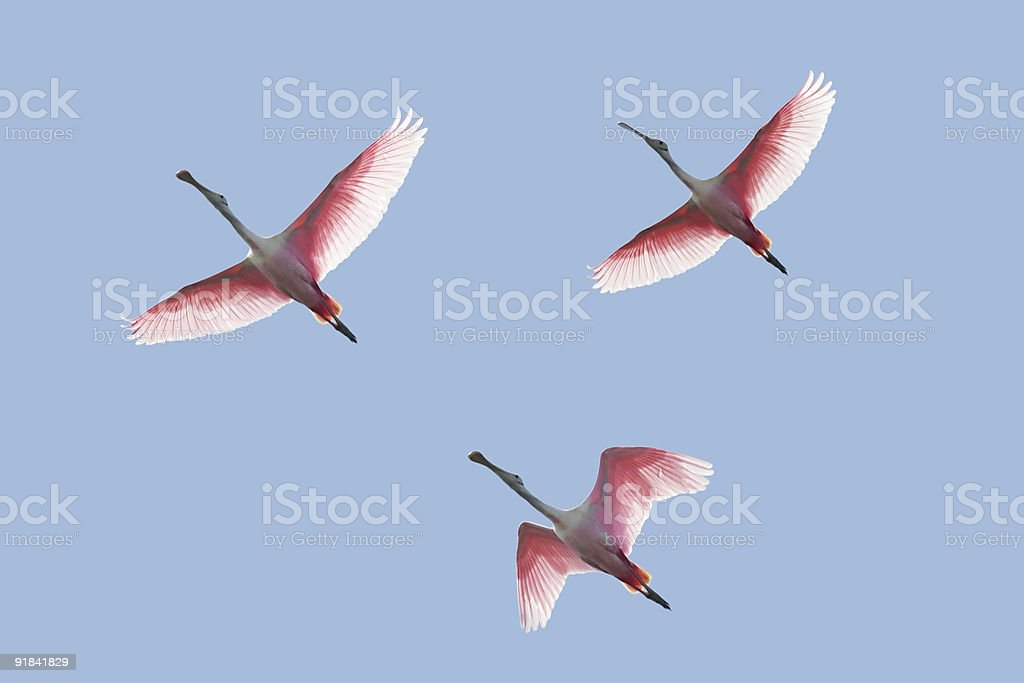 Roseate Spoonbills In Flight stock photo