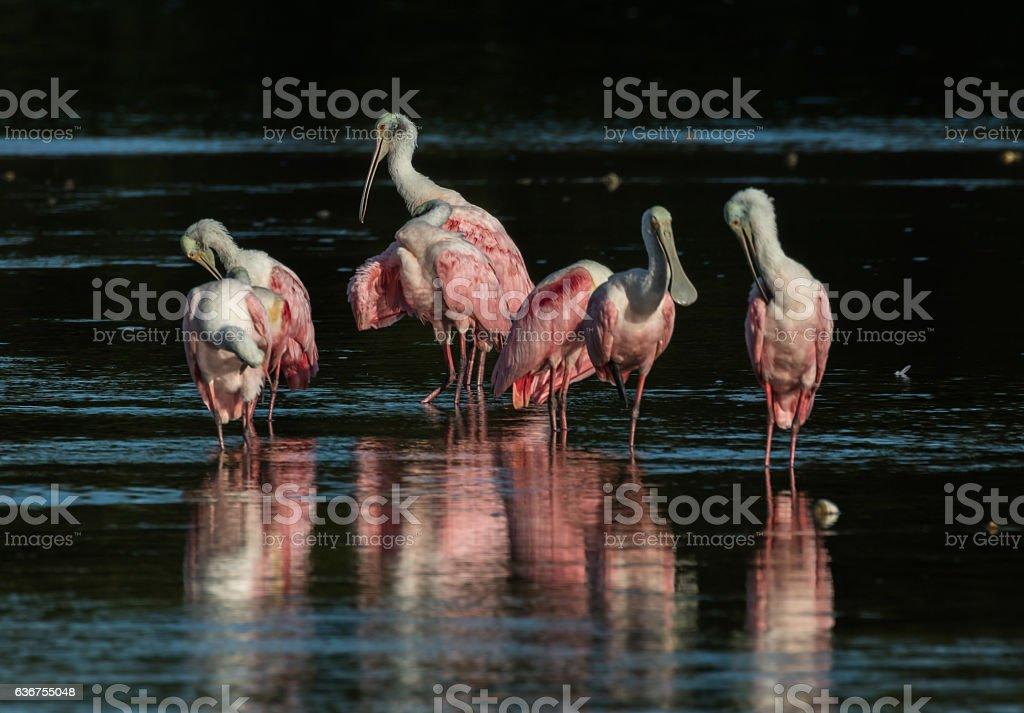 Roseate Spoonbills, J.N. ''Ding'' Darling National Wildlife Refu stock photo