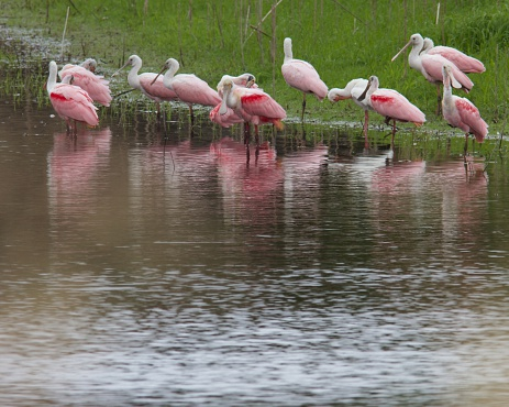 Roseate Spoonbills Preening On The Rivers Edge Stock Photo - Download Image Now