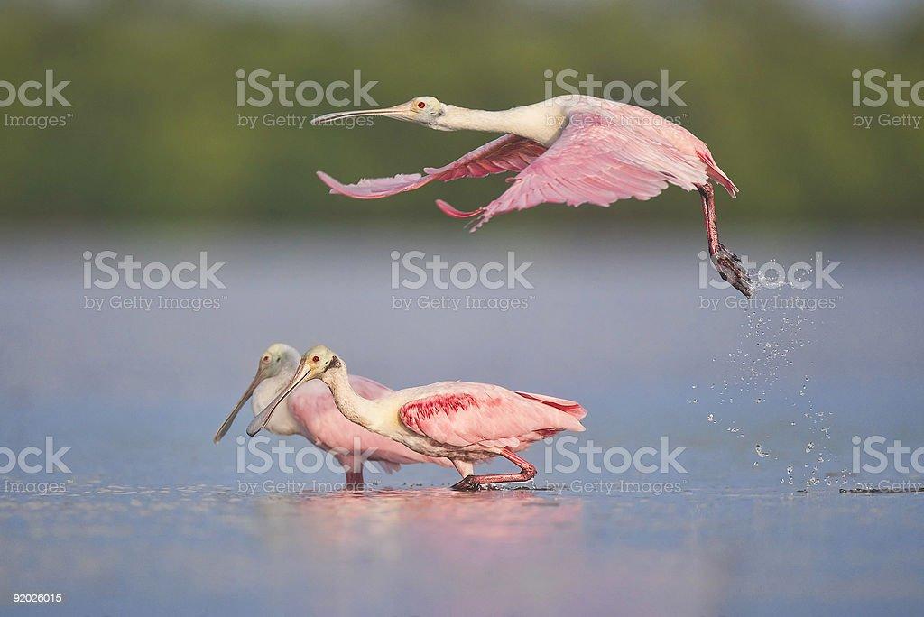 Roseate Spoonbills taking off - Royalty-free Animal Wildlife Stock Photo