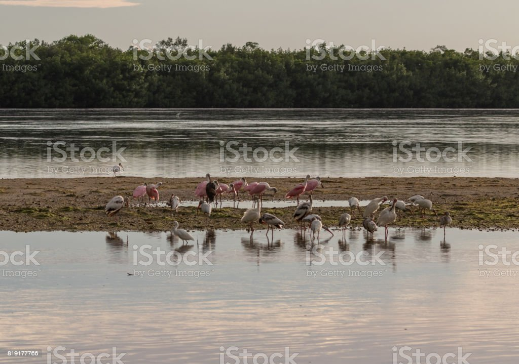 Roseate Spoonbills, White Ibises and Egrets at J.N. ''Ding'' Darling National Wildlife Refuge, Sanibel Island, Florida, USA stock photo