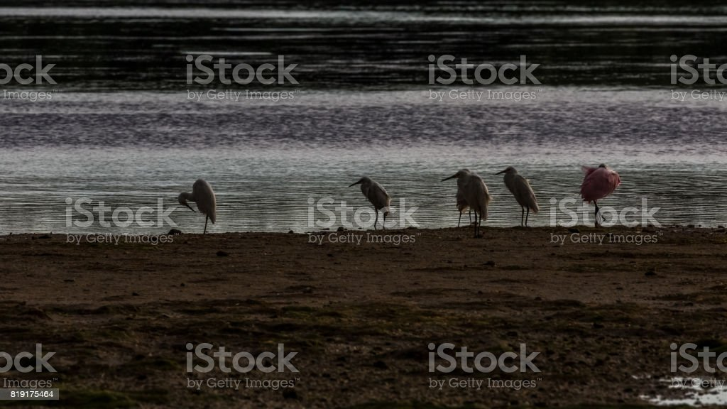Roseate Spoonbills, White Ibises and Egrets, J.N. ''Ding'' Darling National Wildlife Refuge, Sanibel Island, Florida, USA stock photo