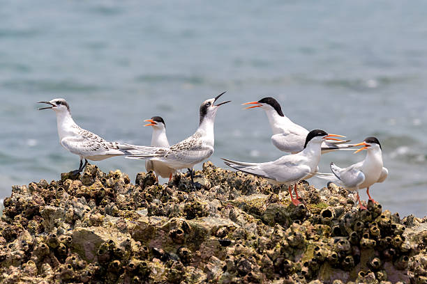 Roseate Tern Adult and Juvenile perching on stone - foto de acervo