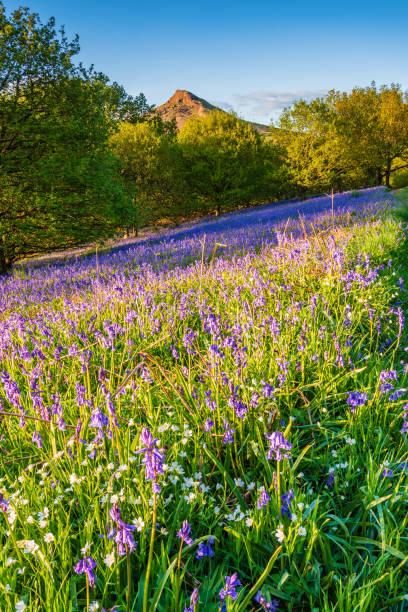 nähe topping und glockenblumen portrait - teppich englisch stock-fotos und bilder