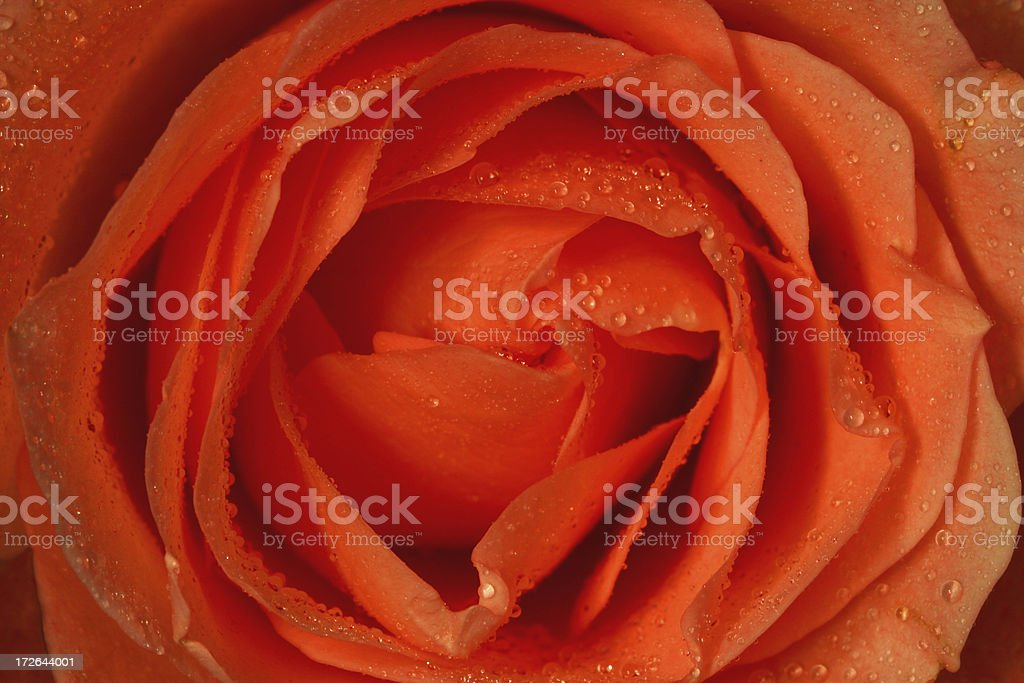 Rosebud with Water Droplets royalty-free stock photo