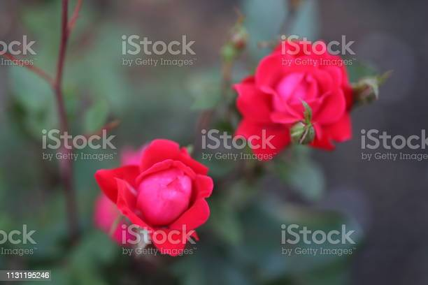 Two budding red roses