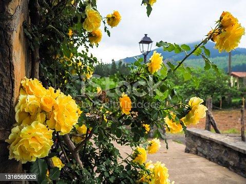 Precioso rosal de rosas amarillas y al fondo un bonito paisaje de naturaleza y pueblo