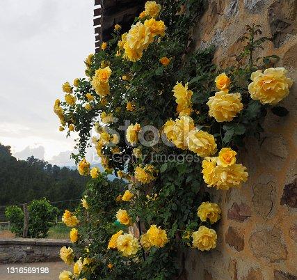 Precioso rosal de rosas amarillas pegadas a una pared