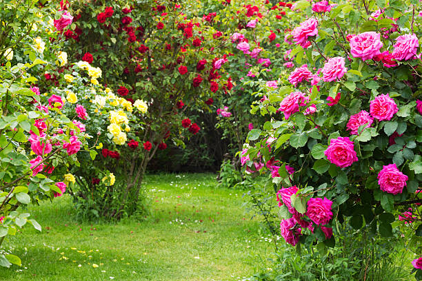 Rosebush stock photo