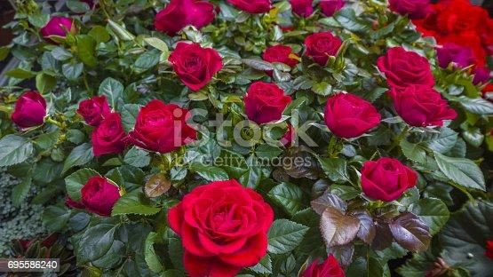 Rose, Blume, Einzelne Blume, Pflanze, busch, viele