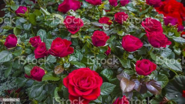 Rosebush picture id695586240?b=1&k=6&m=695586240&s=612x612&h=huuib2eysx hb9zxkamakf8qpifxupg8ornqjkmo u8=