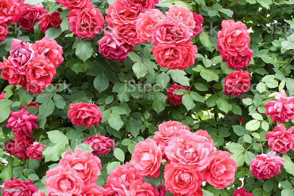 Rosebush royalty-free stock photo