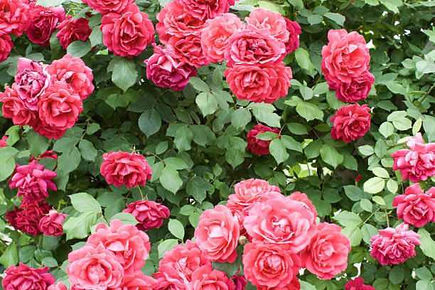 Rosebush stock photo