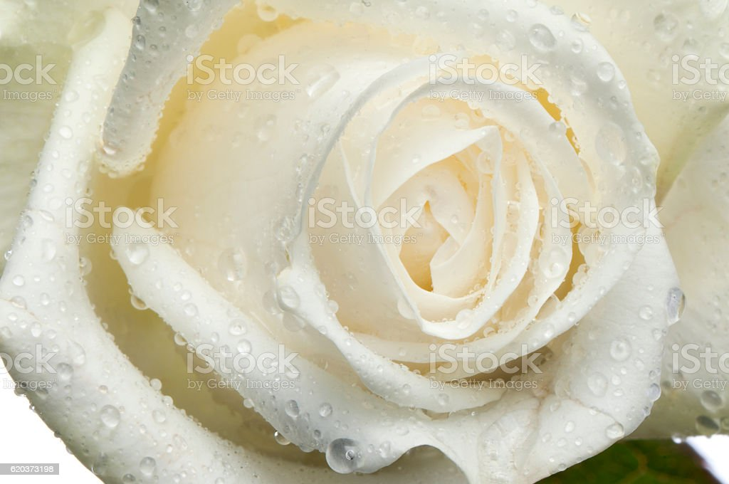 Flor rosa, isolado no branco com gotas foto de stock royalty-free