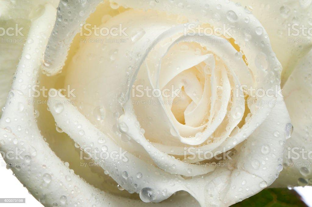 rose, Kwiat na białym tle z kropli  zbiór zdjęć royalty-free