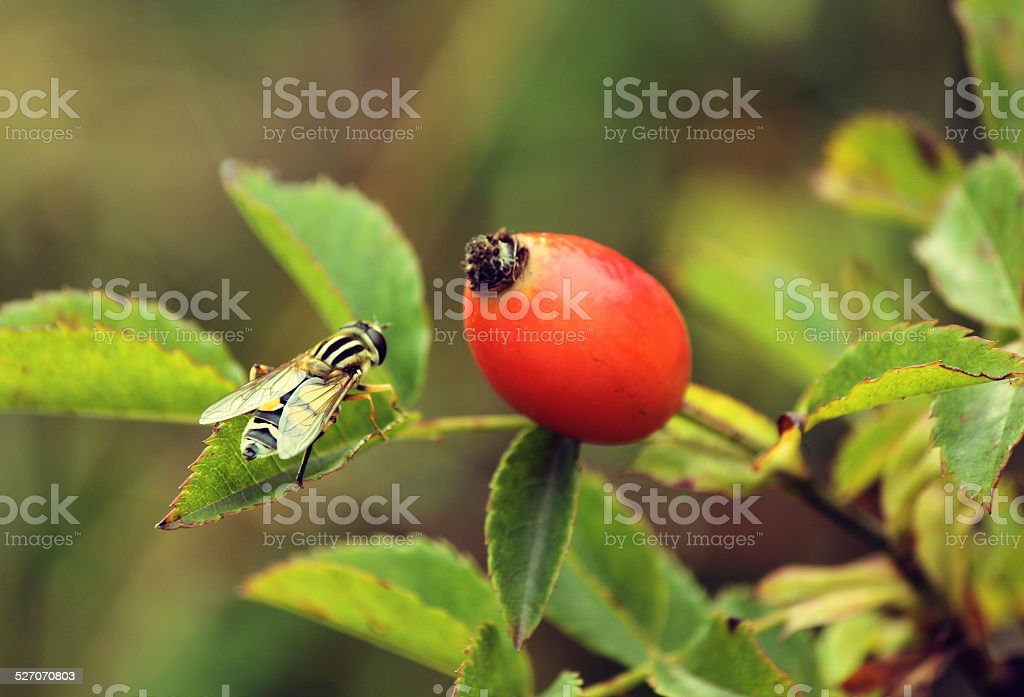 Rosehip and bee stock photo