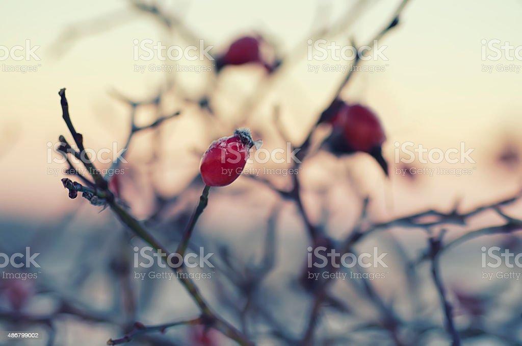 Rosehip berries at sunrise stock photo