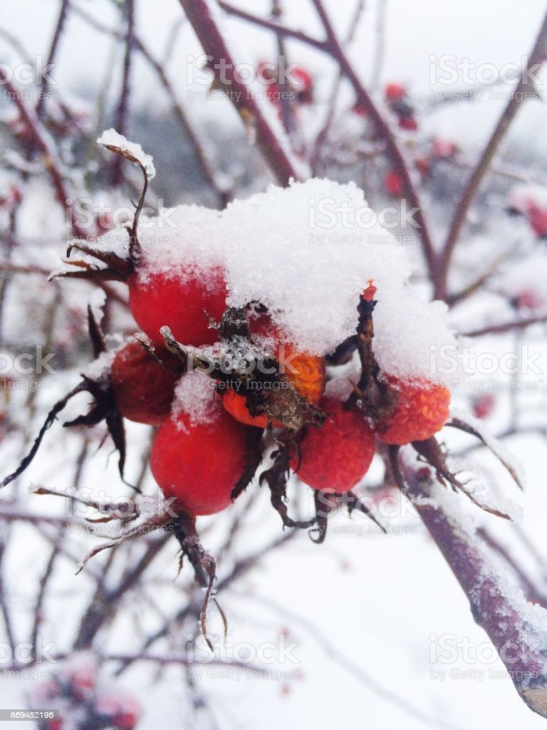 Rosehip berries covered with snow stock photo