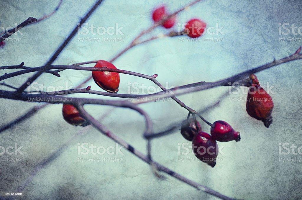 Rosehip berries stock photo