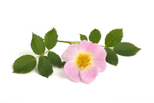 Rose-hip flower Rosehip flower on white background wild rose stock pictures, royalty-free photos & images