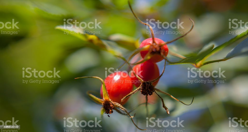 rosehip on bush close up nature background royalty-free stock photo