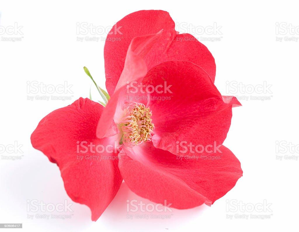 rosehip royalty-free stock photo