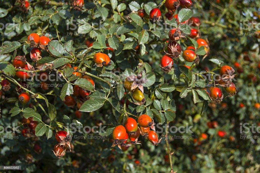 Arbre De Rose Musquee Et Fruitee Rose Musquee Collecte Fruits