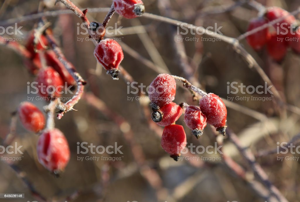 Rosehips in the cold stock photo