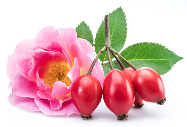 Rose-hips with rose flower. Rose-hips with rose flower on a white background. dog rose stock pictures, royalty-free photos & images