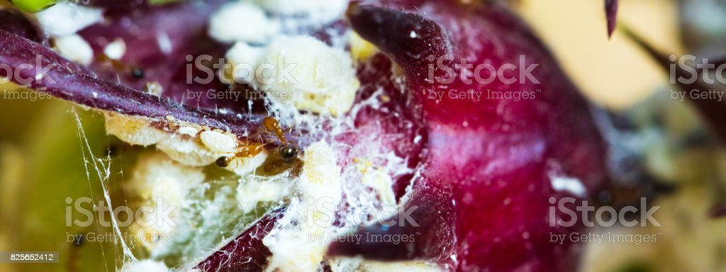 Rosella fruit - Ants create a white net and make plant diseases. stock photo