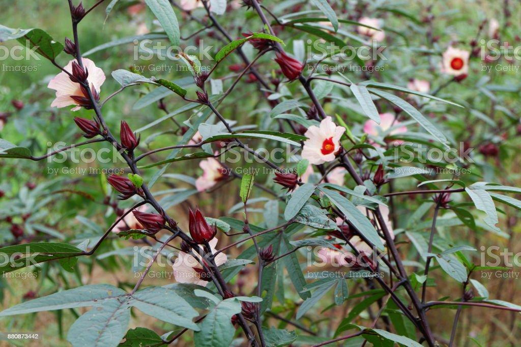 Roselle fruit and flower in garden. stock photo
