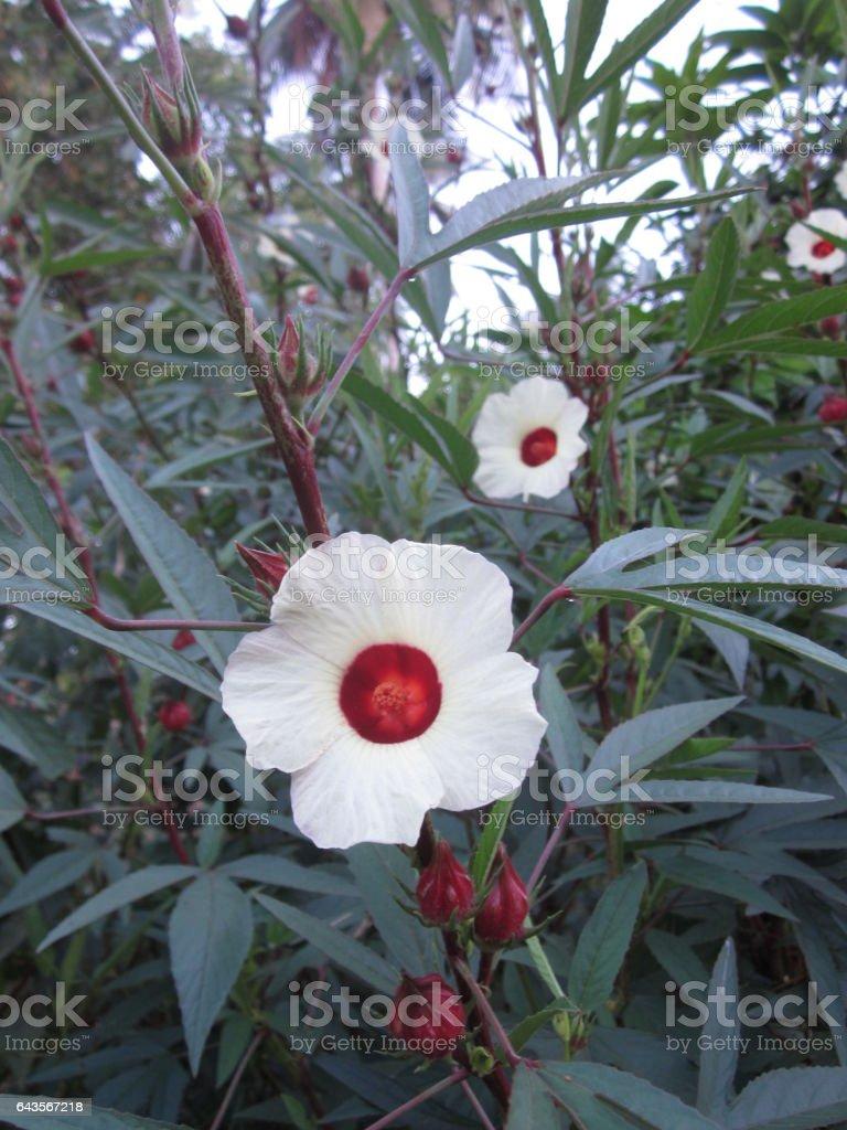 Roselle or rosella or hibiscus sabdariffa or carcade flower stock roselle or rosella or hibiscus sabdariffa or carcade flower royalty free stock photo izmirmasajfo Choice Image