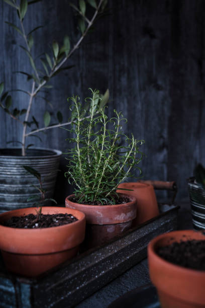 Rosemary and Bay in a Terracotta Pot stock photo