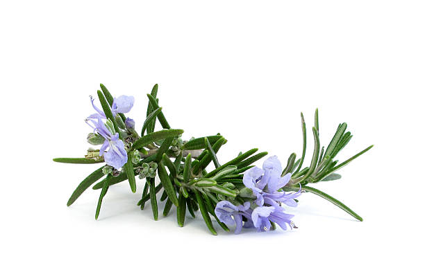 Rosemary branch and flowers stock photo