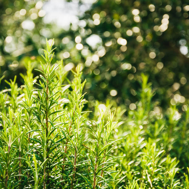 Rosemary bushes with bokeh stock photo