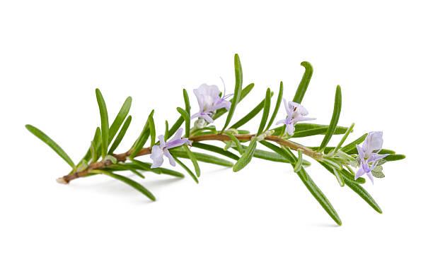 Rosemary flowers picture id474323965?b=1&k=6&m=474323965&s=612x612&w=0&h= nmarjmavbgmro6uhpnsdvrzgb5u3ivad1ovpf9mwws=