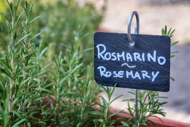 Rosemary growing in a garden, labelled in english and italian (rosmarino) Rosemary growing in a garden, labelled in english and italian (rosmarino) rosmarino stock pictures, royalty-free photos & images