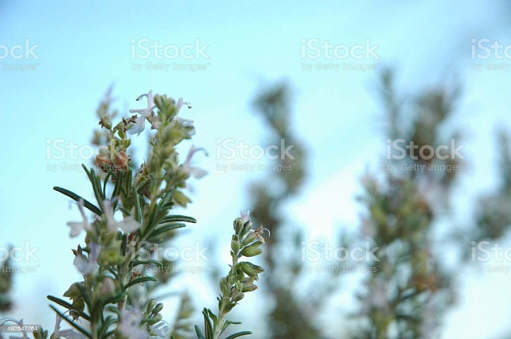 Rosemary herb against a blue sky stock photo