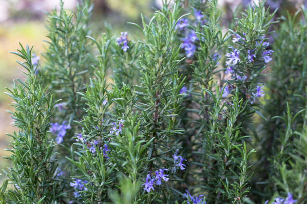 Rosemary herb garden with flowers stock photo