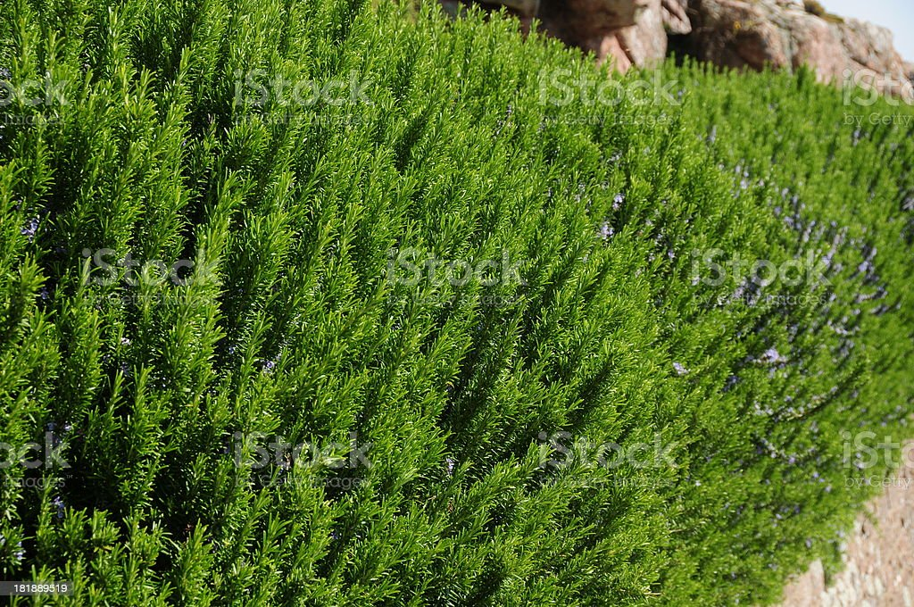 Rosemary herb. royalty-free stock photo