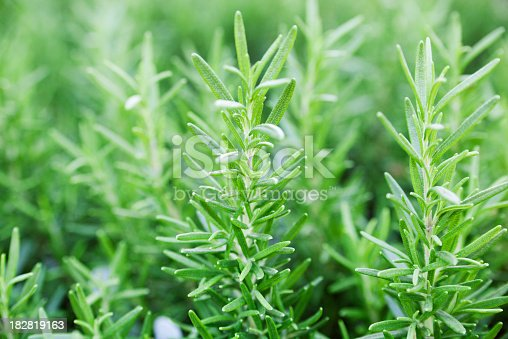 Close-up of kitchen herb rosemary plants in the herb vegetable garden. The fresh green leaf sprigs are a natural ingredient for adding flavor and seasoning to food. They may be organically grown and cultivated for healthy eating in a vegetarian diet.