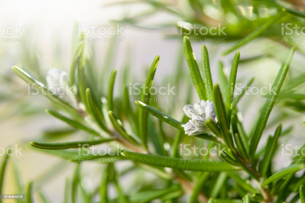 Rosemary Herb Plant with Flowers Close-up stock photo
