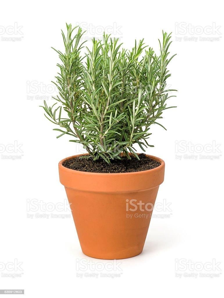 Rosemary in a clay pot stock photo